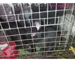 Rabbits Available For Sale - Image 1/8