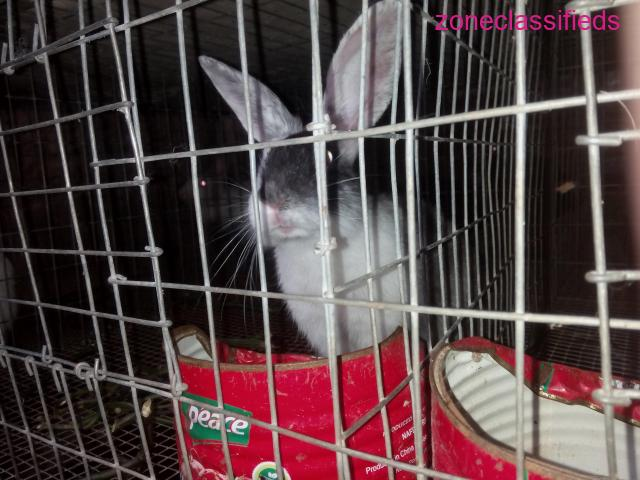 Rabbits Available For Sale - 3/8