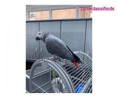 Adorable african grey ready to go