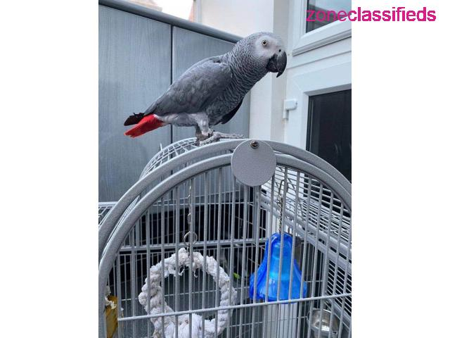 Adorable african grey ready to go - 2/7