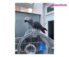 Adorable african grey ready to go - Image 3/7