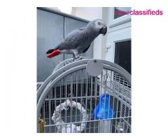 Adorable african grey ready to go - Image 5/7
