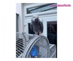 Adorable african grey ready to go - Image 7/7