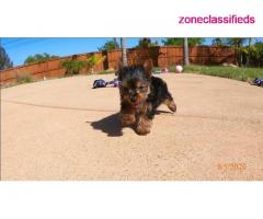 Adorable yorkie puppies near me - Image 1/3