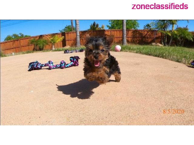 Adorable yorkie puppies near me - 2/3