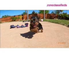 Adorable yorkie puppies near me - Image 2/3