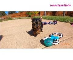 Adorable yorkie puppies near me - Image 3/3