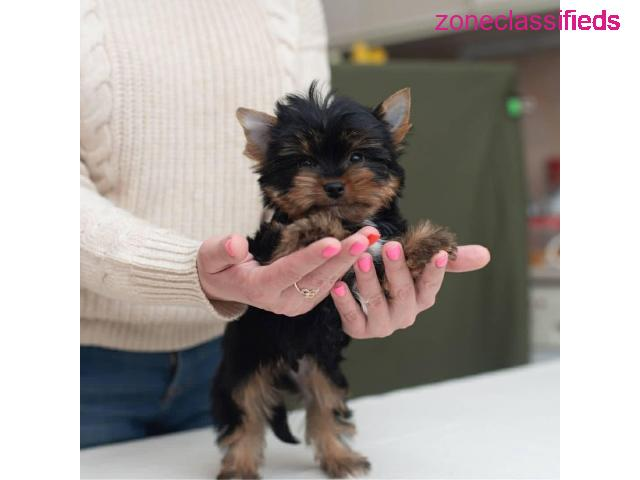 Yorkie puppies for sale - 1/1