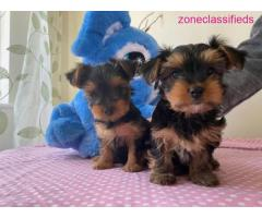 Amazing sweet Yorkshire terrier puppies