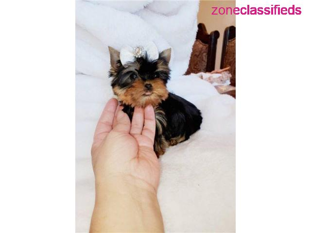 Outstanding male and female Yorkie puppies for good home - 1/4