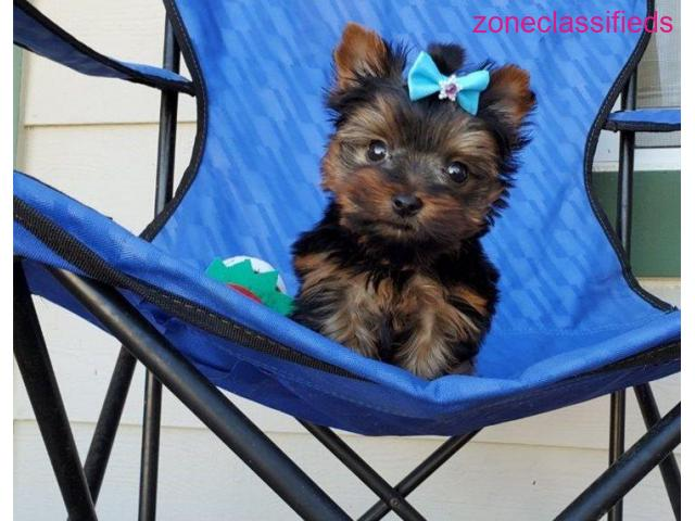 Outstanding male and female Yorkie puppies for good home - 2/4