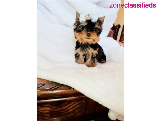 Outstanding male and female Yorkie puppies for good home - 3/4