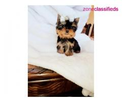 Outstanding male and female Yorkie puppies for good home