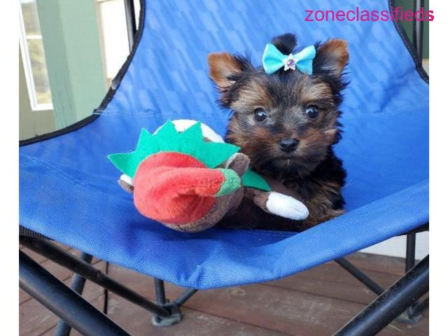 Outstanding male and female Yorkie puppies for good home - 4/4