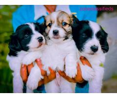 Salone puppies available