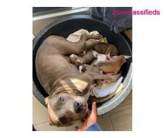 Pit bull puppies ready to meet a new home