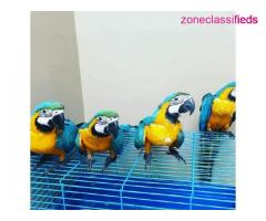 Macaw parrots available