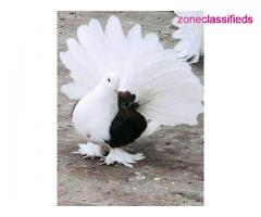 Pigeons available