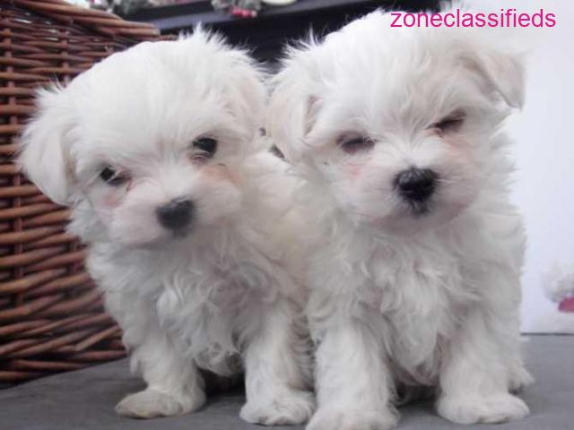 Sweet maltese puppies for sale - 1/1